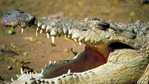 why do crocodiles swallow stones animals mom me