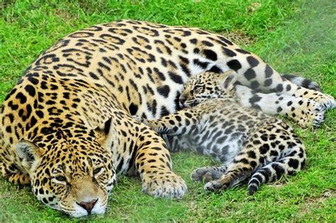 imagenes con jaguar naci 243 un cachorro de jaguar en la reserva de pan de az 250 car