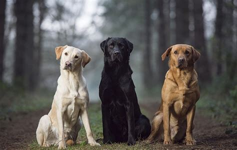 lab colors best labrador colour does coat make a difference the field