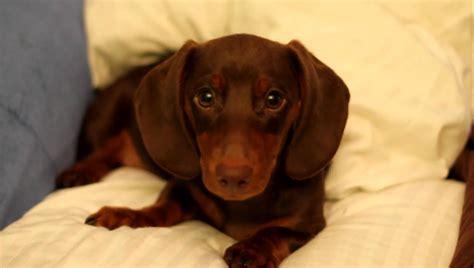 sassy puppy sassy dachshund puppy