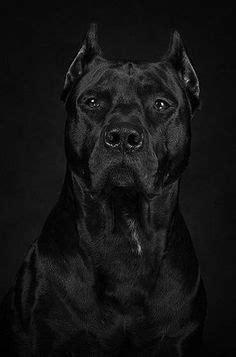 Pin de Geová Arruda Oliveira em cães | Pitbull, Cães e Animais