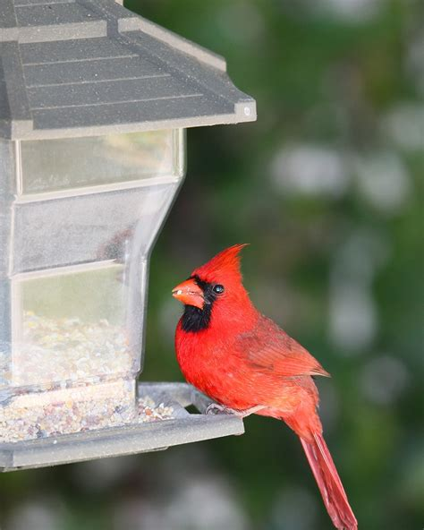 best squirrel proof bird feeder for cardinals duncraft