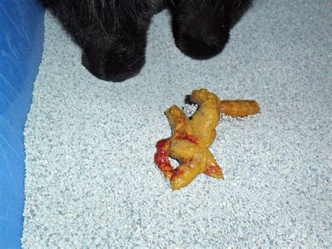 What Does Blood In Cat Stool by Warning Disturbing Pictures Attention Photos Troublantes Cat