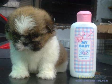 Bedak Boneka By Center dunia anjing jual anjing shih tzu dijual anakan