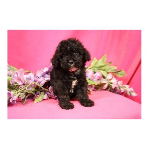 pomeranian puppies for sale in tucson 25 best ideas about cockapoo puppies for sale on cockapoo pups for sale