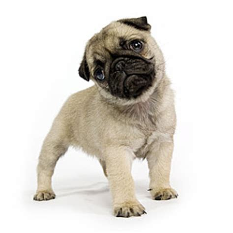 pug puppies louisiana image gallery perros pug