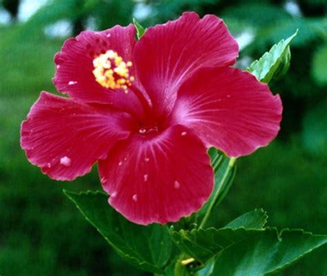 fiore ibisco ibisco il fiore della bellezza piante da giardino