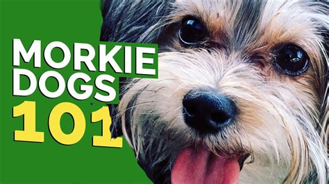 what is a morkie morkie dogs 101