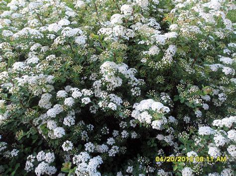 white flowering shrubs 17 best ideas about white flowering shrubs on