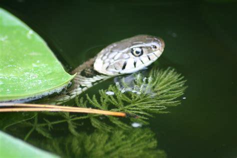 schlange im garten schlange am goldfischteich hausgarten net
