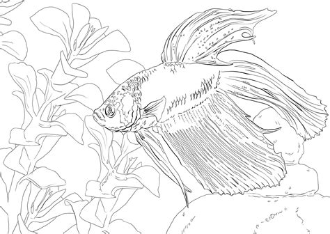 swedish fish coloring page pictures of siamese fighting fish on animal picture society