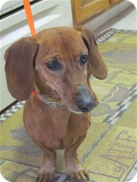 adoption el paso el paso tx dachshund meet oscar a for adoption