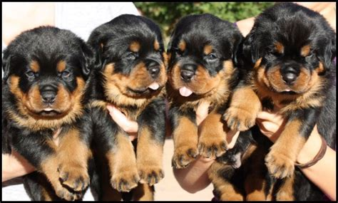 7 month rottweiler for sale stunning rottweiler puppies brierley hill west midlands pets4homes