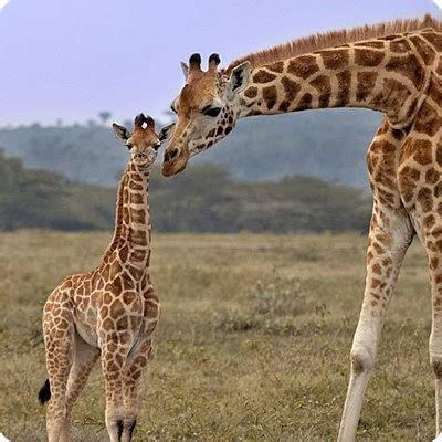 imagenes con jirafas jirafas
