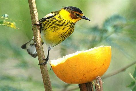 how to attract warblers tips for attracting warblers
