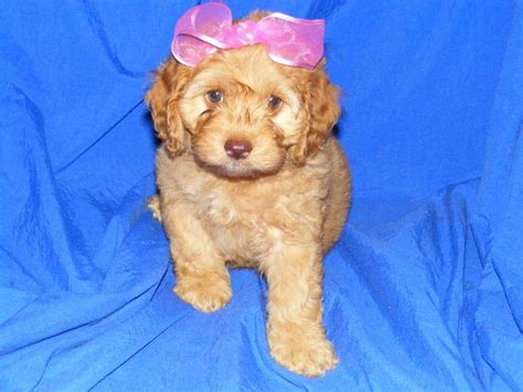 cockapoo puppies for sale nc cockapoo puppies for sale
