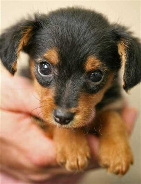 dachshund yorkie mix puppies for sale best 20 mini yorkie ideas on teacup yorkie puppies and whats a