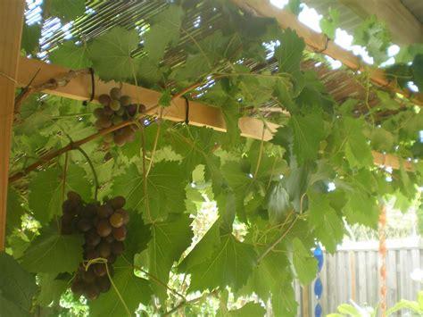 Archway Trellis Grape Carolina Black Rose Tree Vitus Vinifera