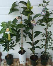 wholesale fruit tree nursery retail plant nursery australia login