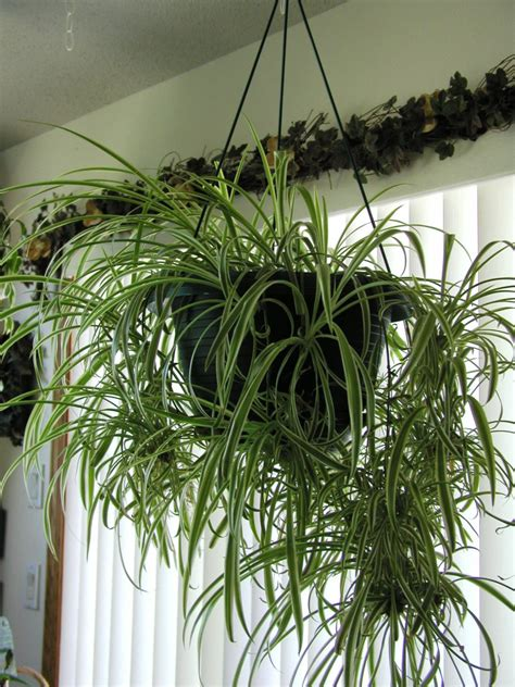 spider plant the best plants for your office and home see