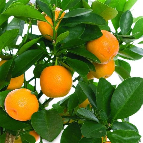 Fruit Trees Home Depot by Bloomsz Orange Tree In Decorative Planter 00414 The Home