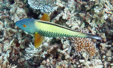 spotted parrotfish cetoscarus oscelltus gbr