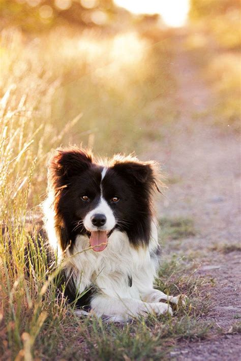 when is a not a puppy 1000 ideas about australian shepherd puppies on