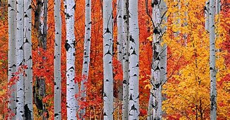 file autumn rocky mountain maple rocky mountain maple and aspen trees in the wasatch