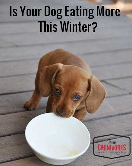 increased appetite in dogs has your s appetite increased this winter true carnivores