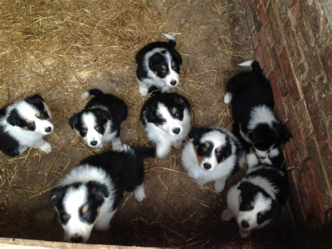 border collie puppies for sale border collie puppies for sale uk breeds picture