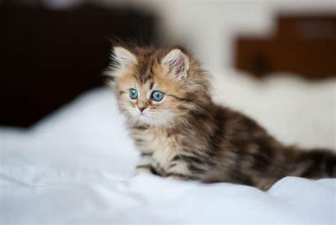 memelihara kucing persia tips memberi makan kucing persia cara merawat kucing persia dari ahli terpercaya dan lengkap
