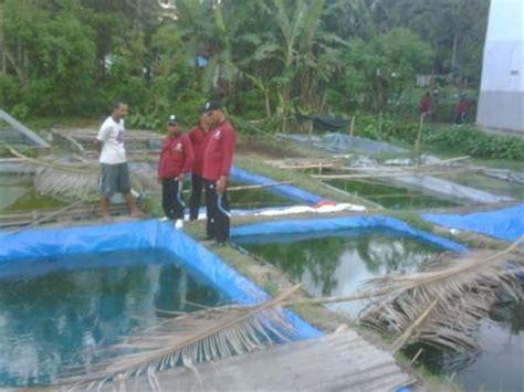 Bibit Patin bibit ikan patin murah untuk budidaya dan pembesaran