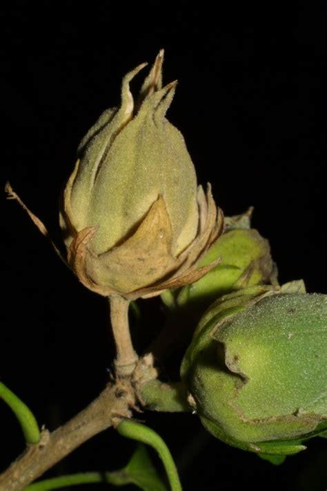 vanderbilt cus map hibiscus syriacus shrubby mallow go botany