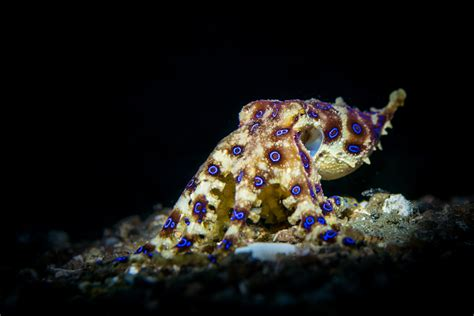 how do octopus change color how do octopuses camouflage