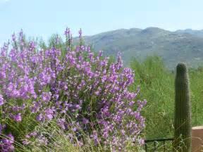 desert flowering shrubs bushes with purple flowers bring to the desert
