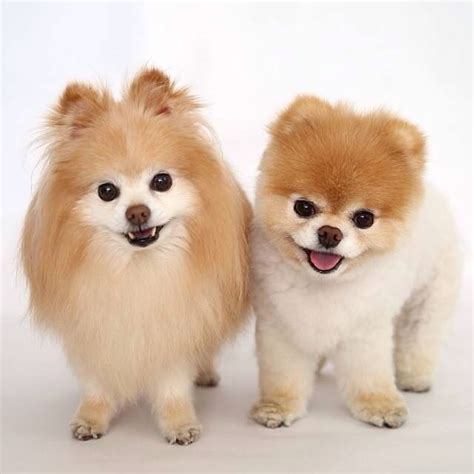 boo haircut pomeranian dogs that look like boo breeds picture