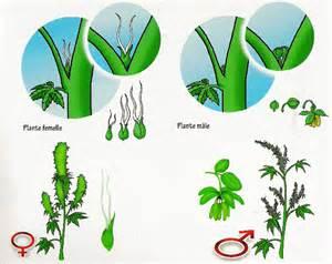 coupe d une plante de cannabis