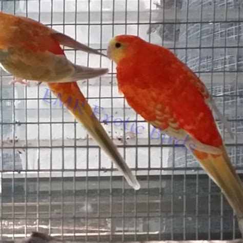 birds for sale san diego male red rump parakeet rumped parakeet 109622 for sale in san diego ca