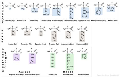 diagram of amino acid basic chemistry atoms and ions