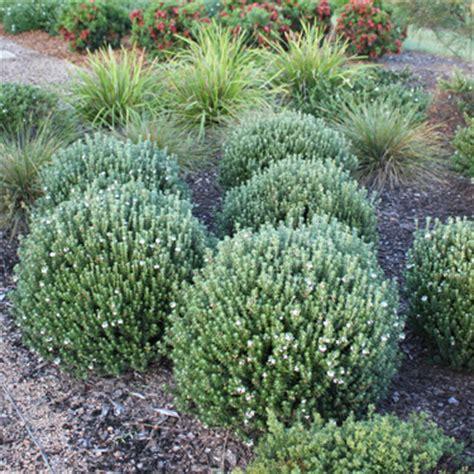 easy care flowering shrubs go gardening helping new zealand grow garden
