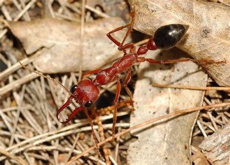 giant brown bull ant myrmecia pyriformis  myrmecia brevinoda