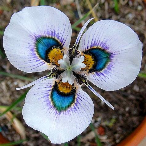 easy plants 100 grains butterfly orchid seeds flower seeds indoor