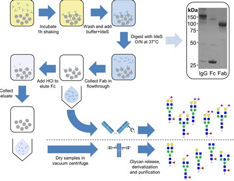 glycosylation pattern analysis workflow of igg fab and fc glycosylation analysis