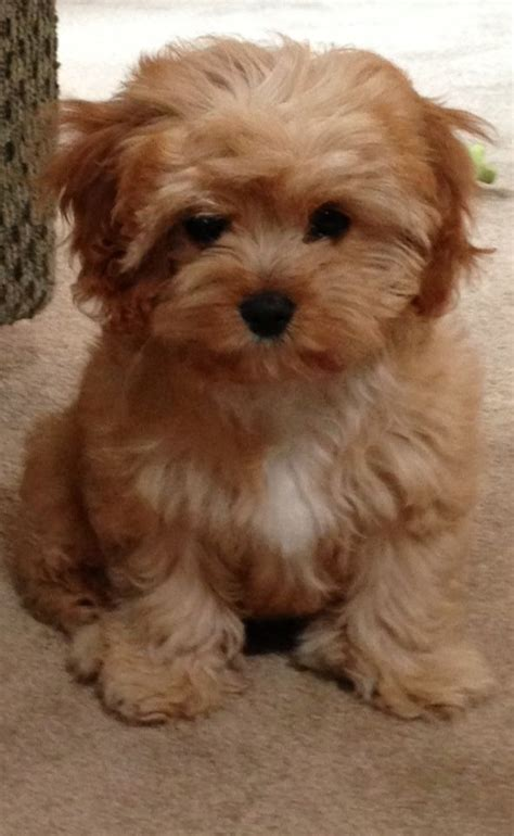 google images puppies cavapoo google search dogs too cute pinterest