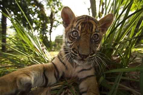8 Reasons Cats Make Great Companions by Tigers About The House 8 Reasons Tigers Would Make Great