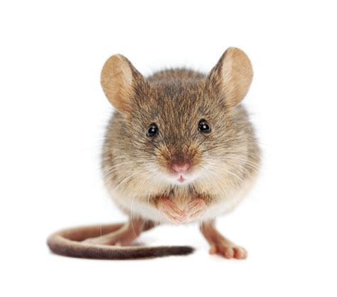 home remedies to get rid of mice s tips