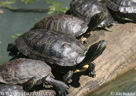 yellow bellied turtle photos yellow bellied turtle images nature wildlife pictures naturephoto