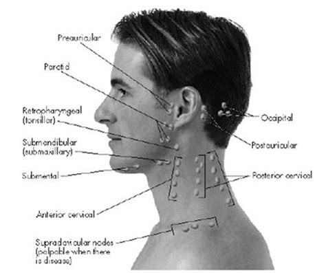 lymph node in neck diagram human anatomy chart page 178 of 202 pictures of human