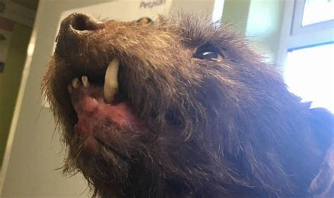 hunt  cruel badger baiters  left dog    jaw ripped  nature news