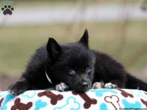 pomsky puppies for sale in pa 17 best images about loving designer puppies for sale on morkie puppies